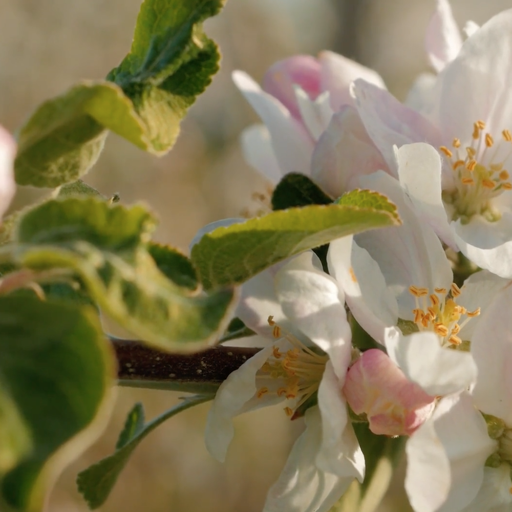 BOOTHBY'S ORCHARD -