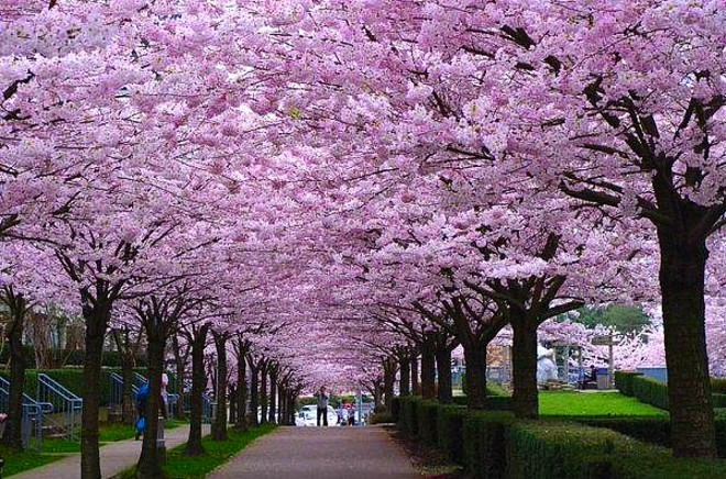 over-40k-cherry-blossoms-1.jpg