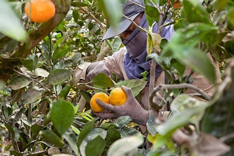 Fátima cosechando mandarinas, El Carmen 2011