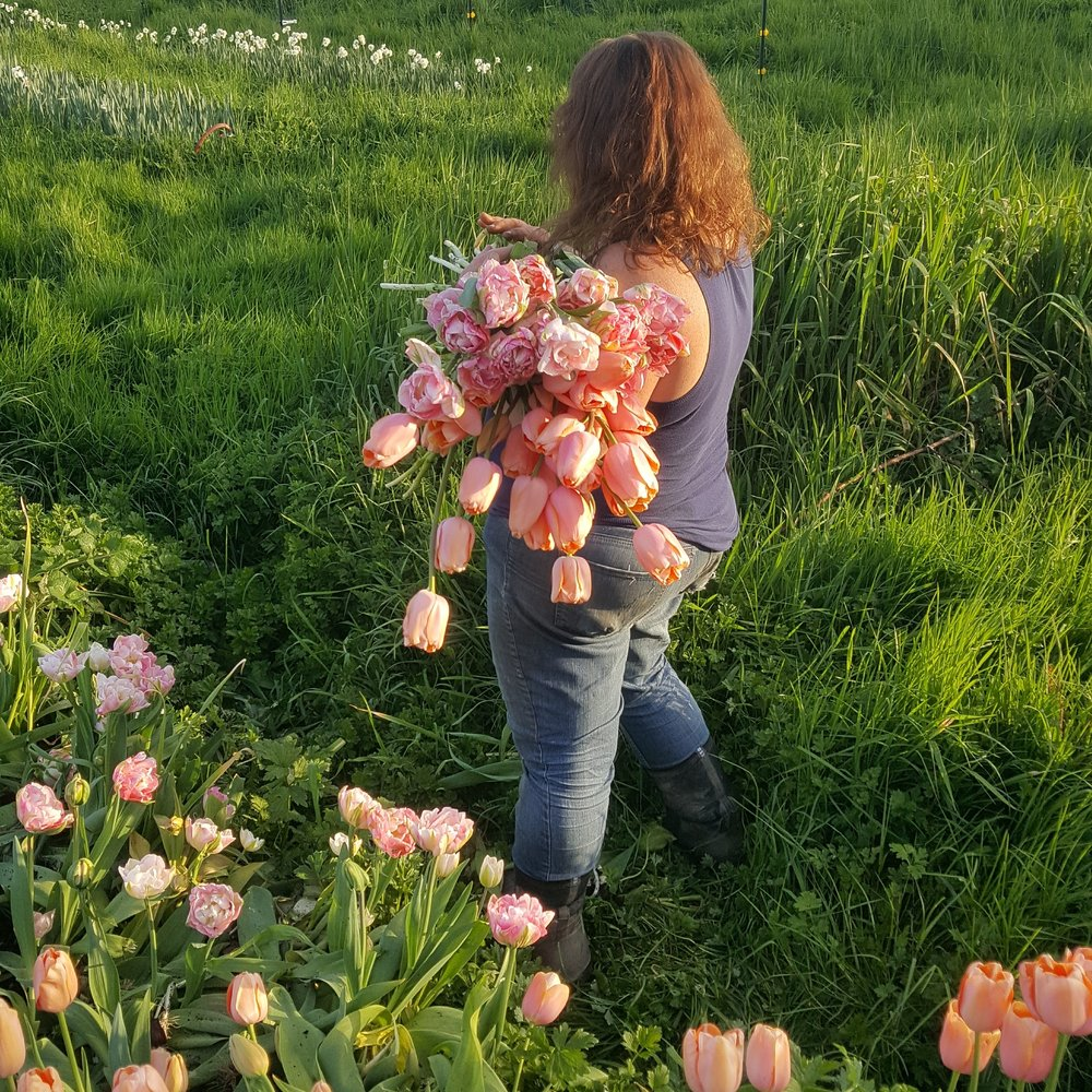 Linda harvesting a bed of tulips