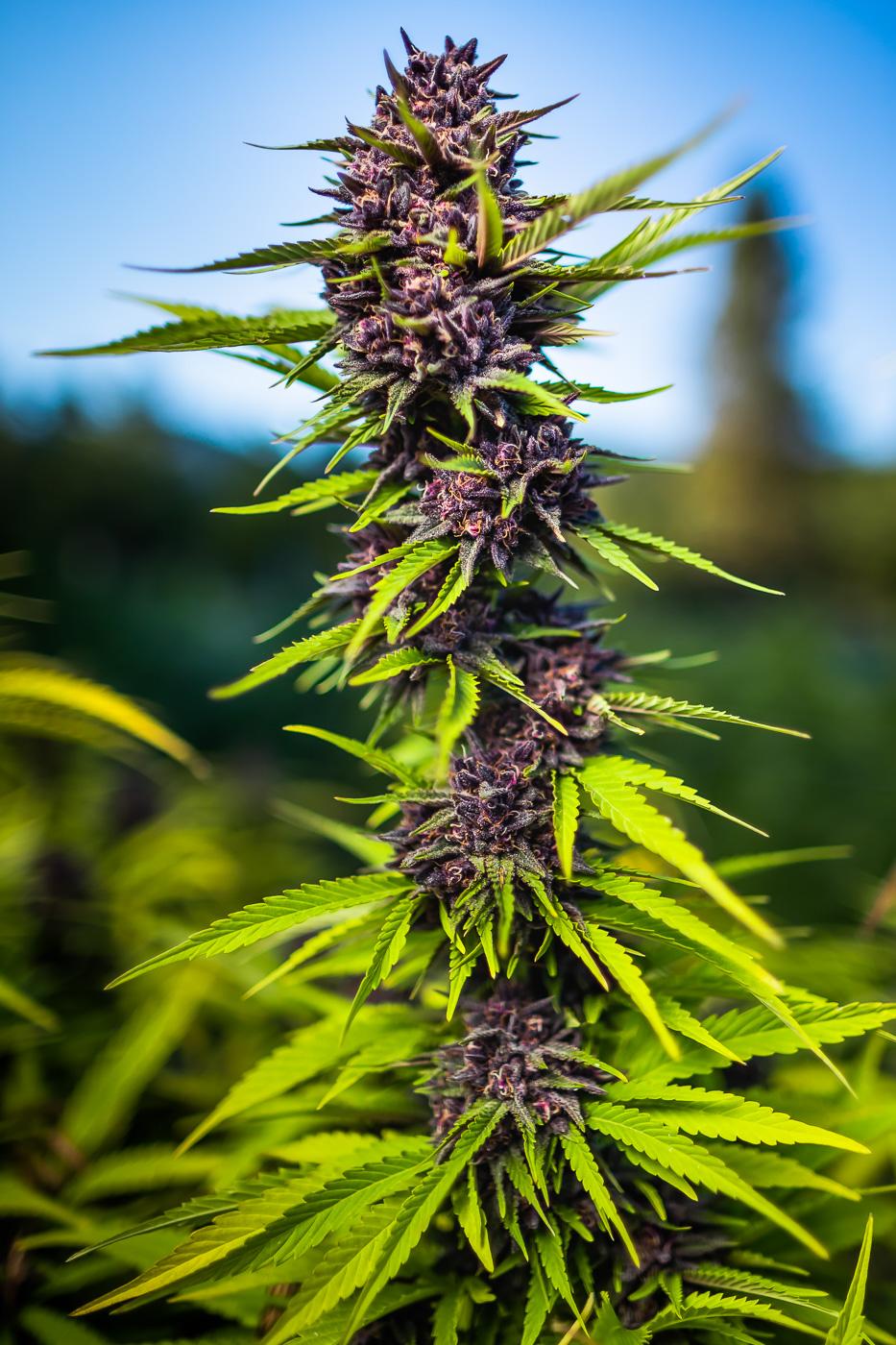 KAMIKAZE KISH - total CaNNABINOIDS - 18.2%THC - 15.29%TERPENES - 4.067%