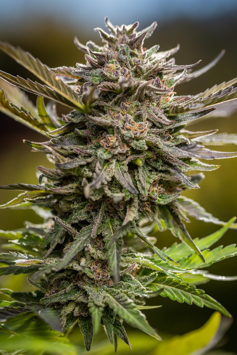 PINEAPPLE KUSH - total Cannabinoids - 25.3%THC - 21.32%TERPENES - 4.458%