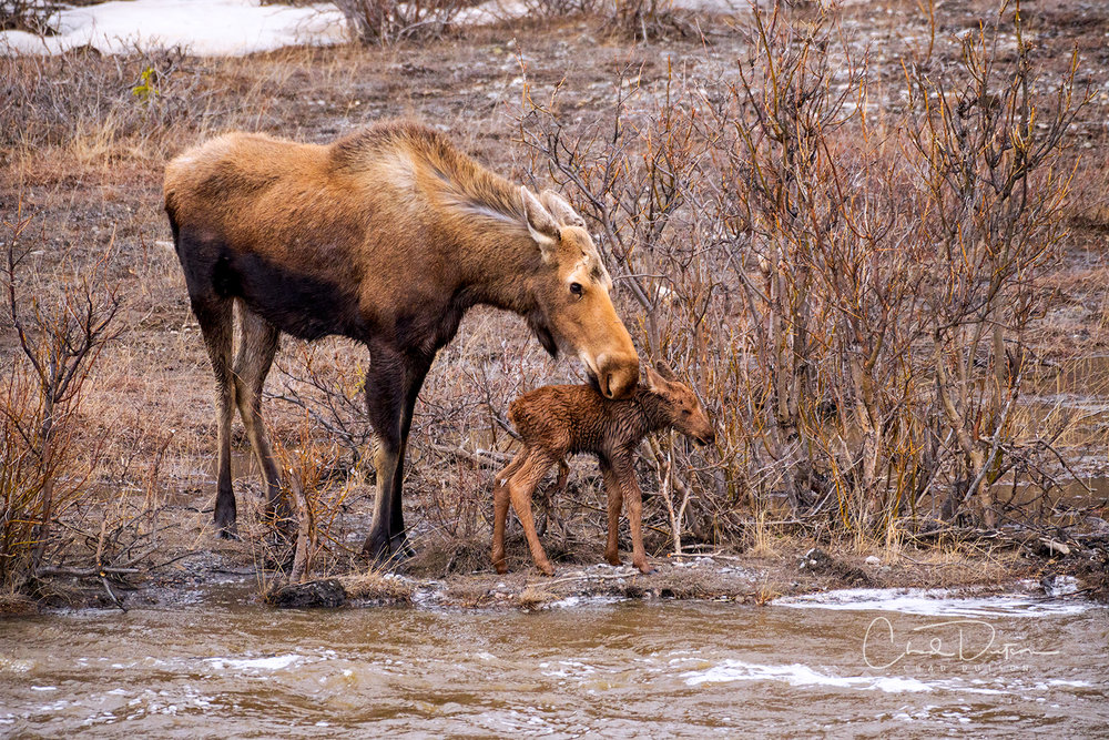Cow and Calf at Savage River, after a failed attempt to cross, Spring 2018 (c) Chad Dutson