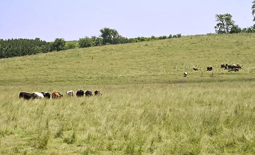 Wisconsin-Cows.jpg