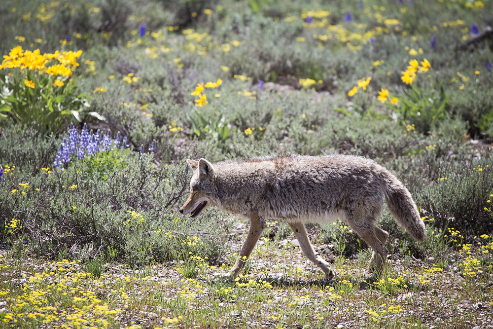 Coyote, Grand Teton National Park