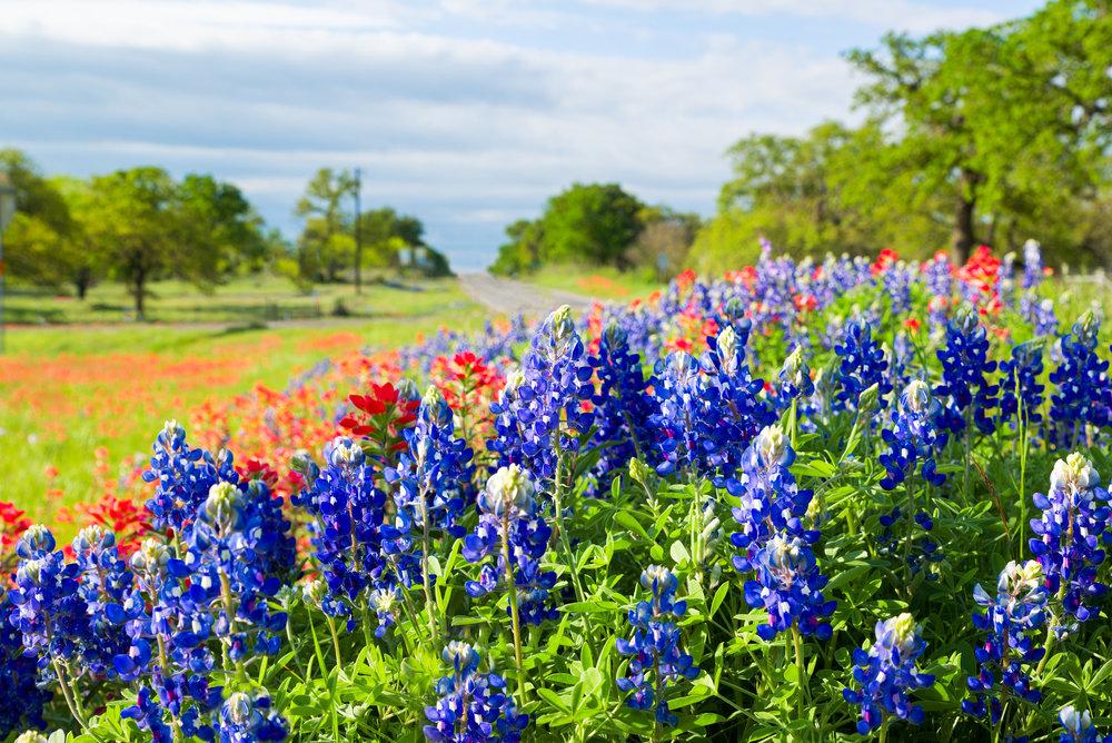 iStock-Texas wildflowers522745416.jpg