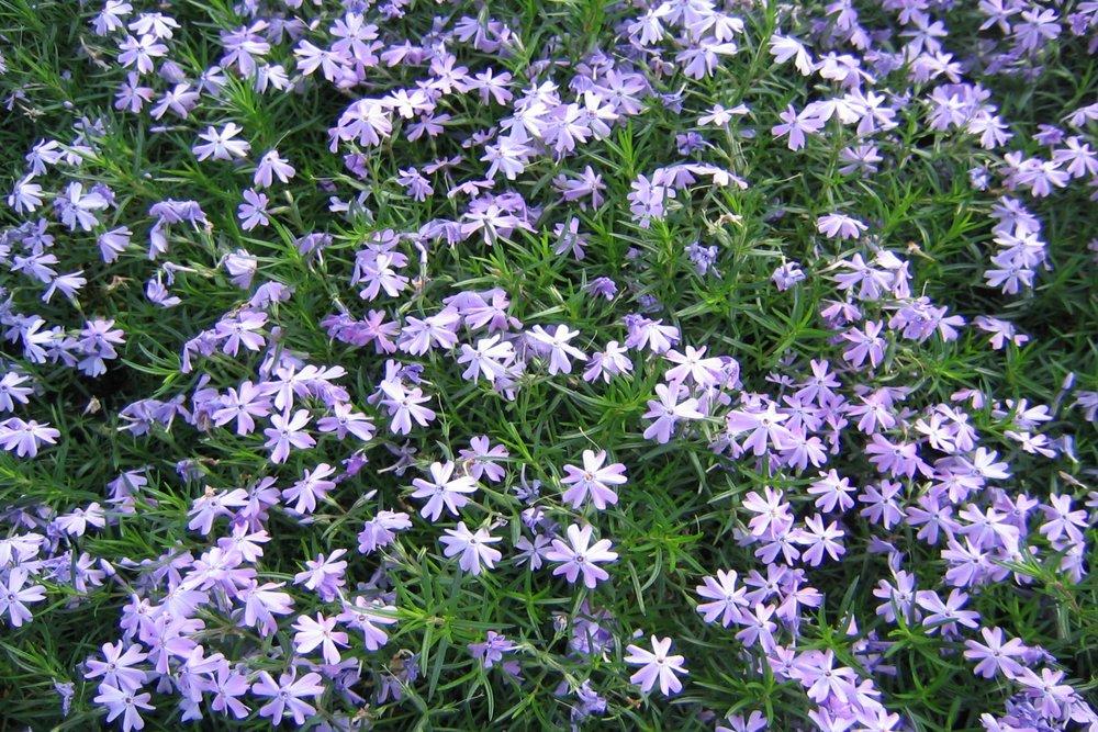 Phlox sub., Emerald Blue 2.jpg
