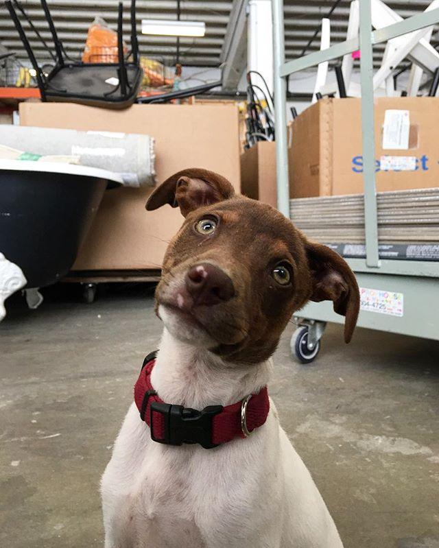 New good boy in the stu! #pup #lilguy #minneapolis