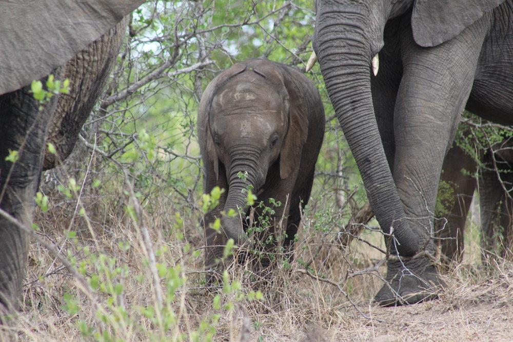 baby elephant calf south africa.jpg