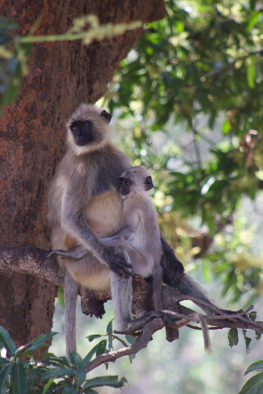 langhur monkeys india kanha.jpg