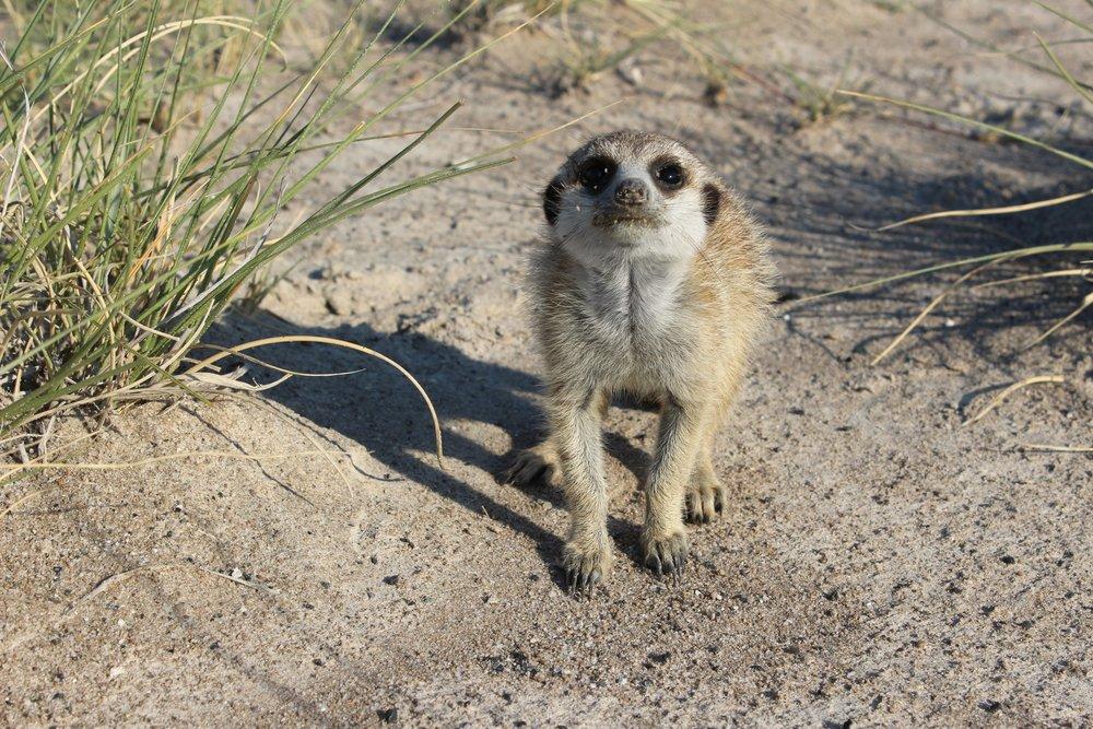 meerkat botswana.JPG