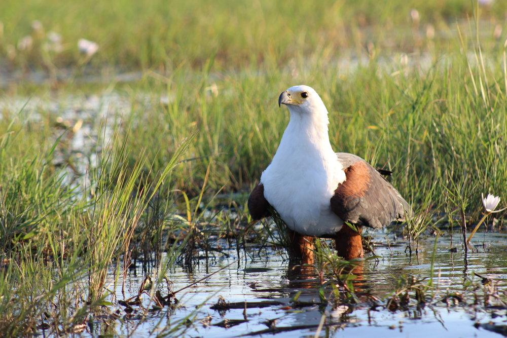 fish eagle botswana africa bird.JPG