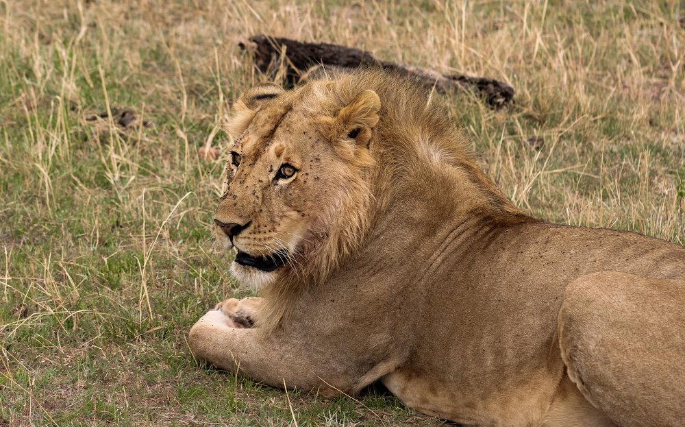africa kenya male lion with flies (1 of 1).jpg