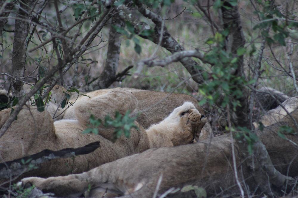 lion cub sleeping south africa safari.JPG