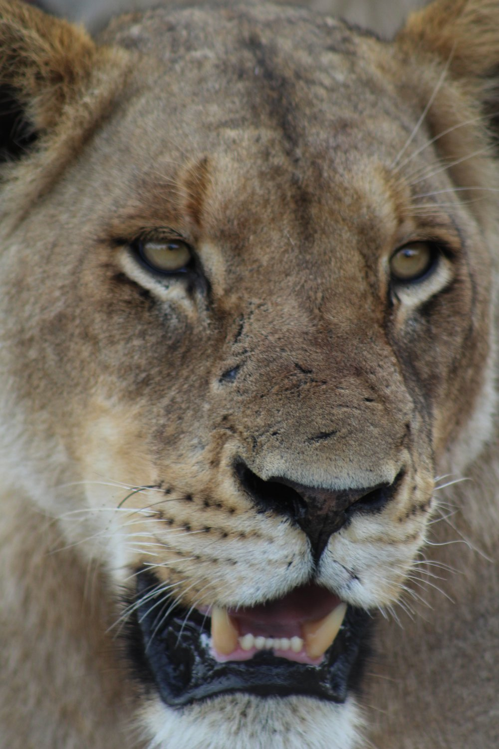 lioness lion south africa.jpg