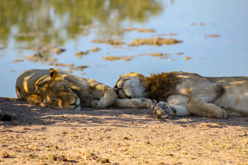 south africa sleeping lions (1 of 1).jpg