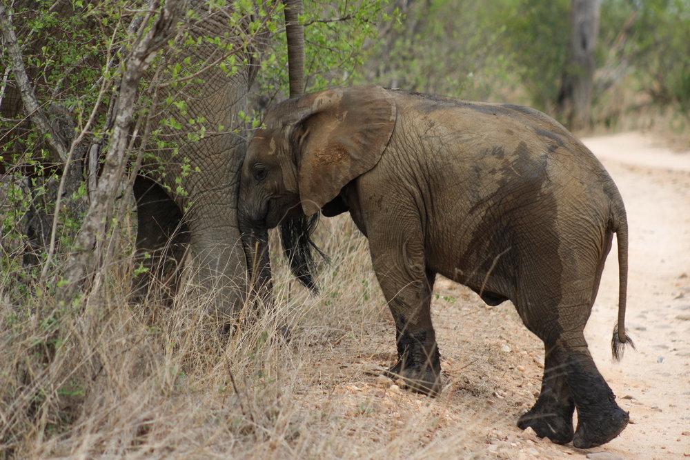 south africa baby elephant calf (1 of 1).jpg