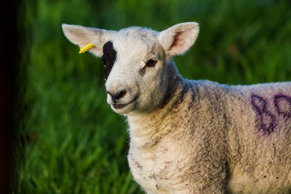 england lamb sheep w black ear (1 of 1).jpg