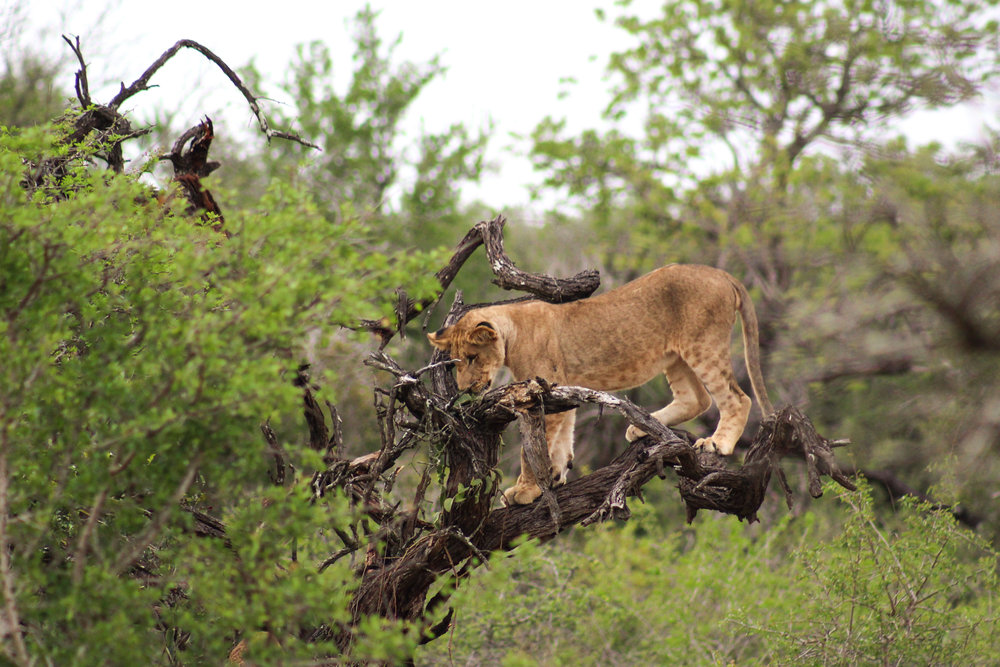 south africa lion cub on tree (1 of 1).jpg