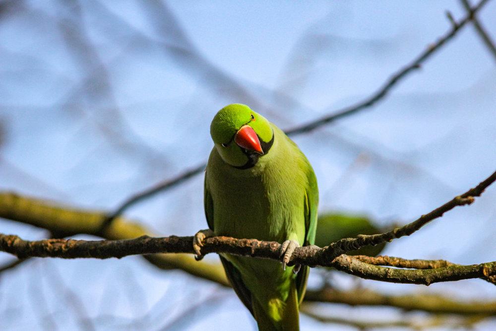 ringnecked parrot hyde park parakeet london (1 of 1).jpg