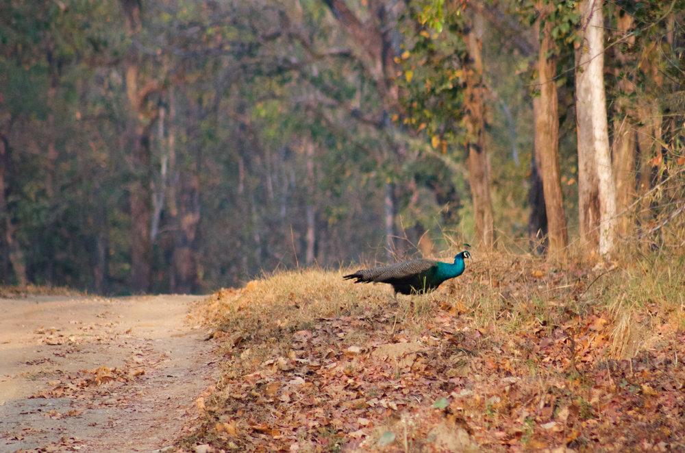 Peacock Kanha India (1 of 1).jpg