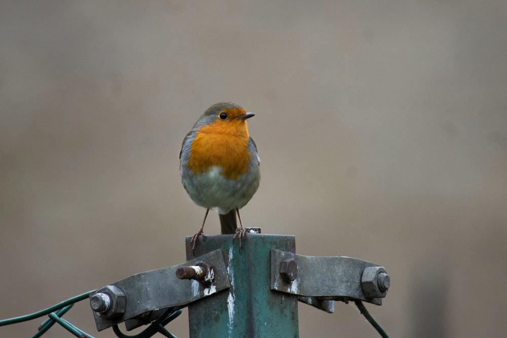 london european robin on fence  (1 of 1).jpg