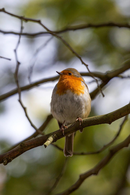 london kensington european robin(1 of 1).jpg
