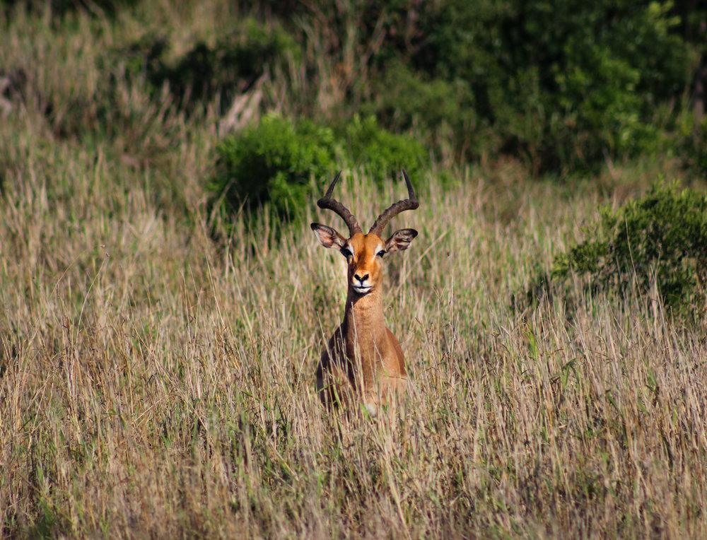 Male Impala Phinda Grass (1 of 1).jpg