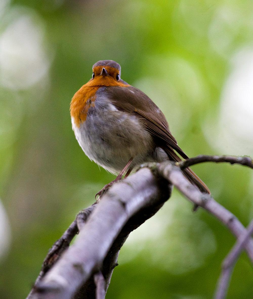 london european robin staring at camera (1 of 1).jpg