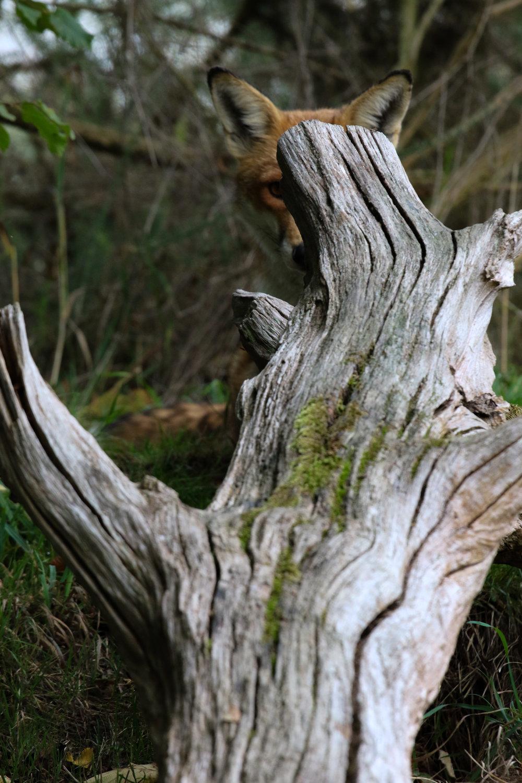 male fox behind log british wildlife centre (1 of 1).jpg