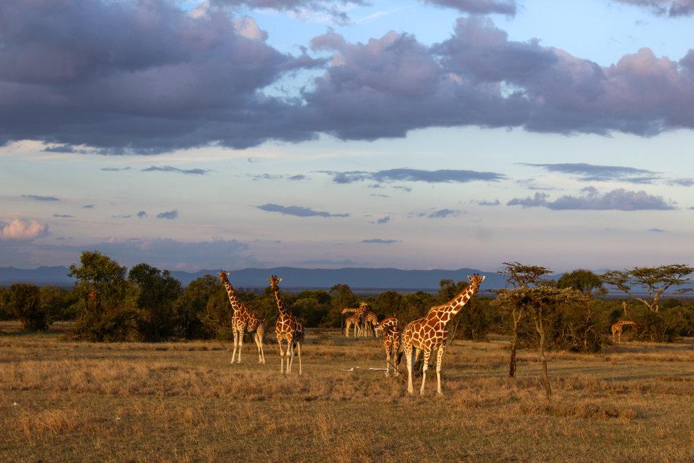 ol pejeta africa giraffes kenya 2 (1 of 1).jpg
