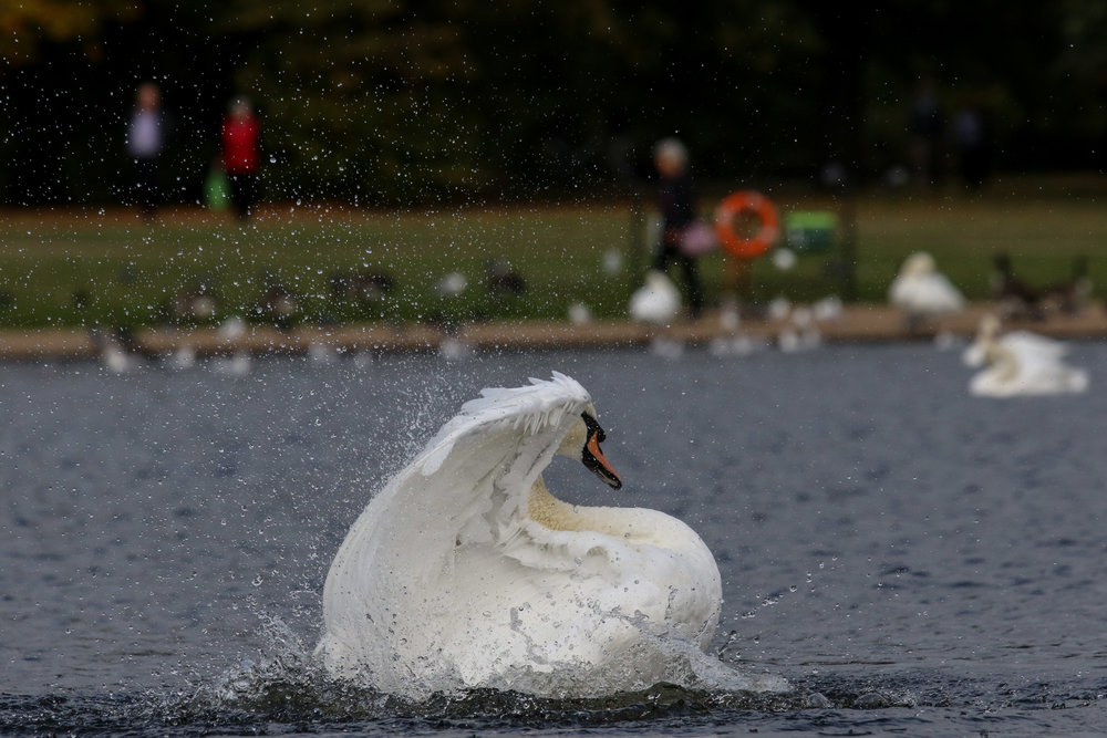 white mute swan water london hyde park  (1 of 1).jpg
