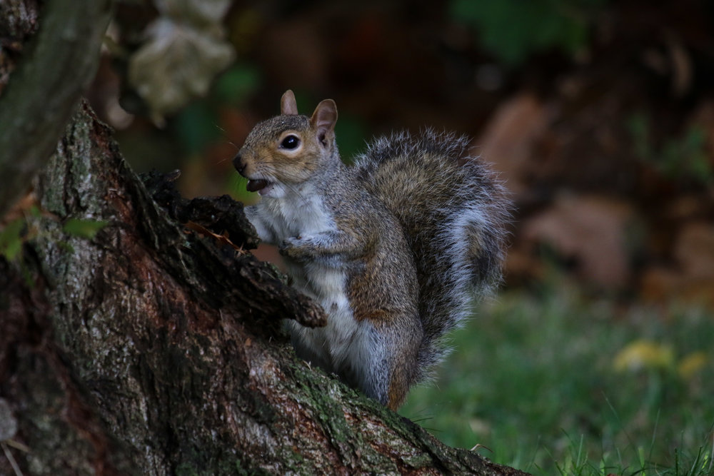 squirrel nut in mouth hyde park (1 of 1).jpg