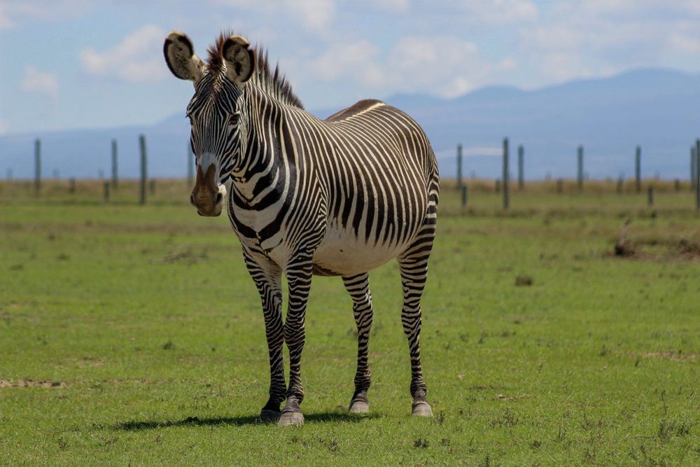 Grevy_s Zebra Ol Pejeta Kenya Africa (1 of 1).jpg