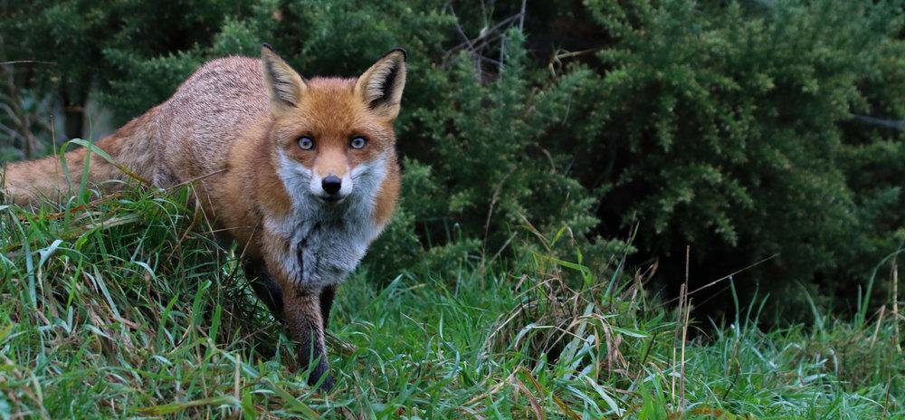 female fox british wildlife centre england red  (1 of 1).jpg