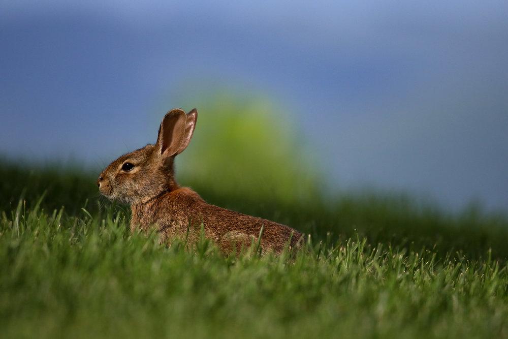 rabbit bunny north carolina blue ridge mountains.jpg