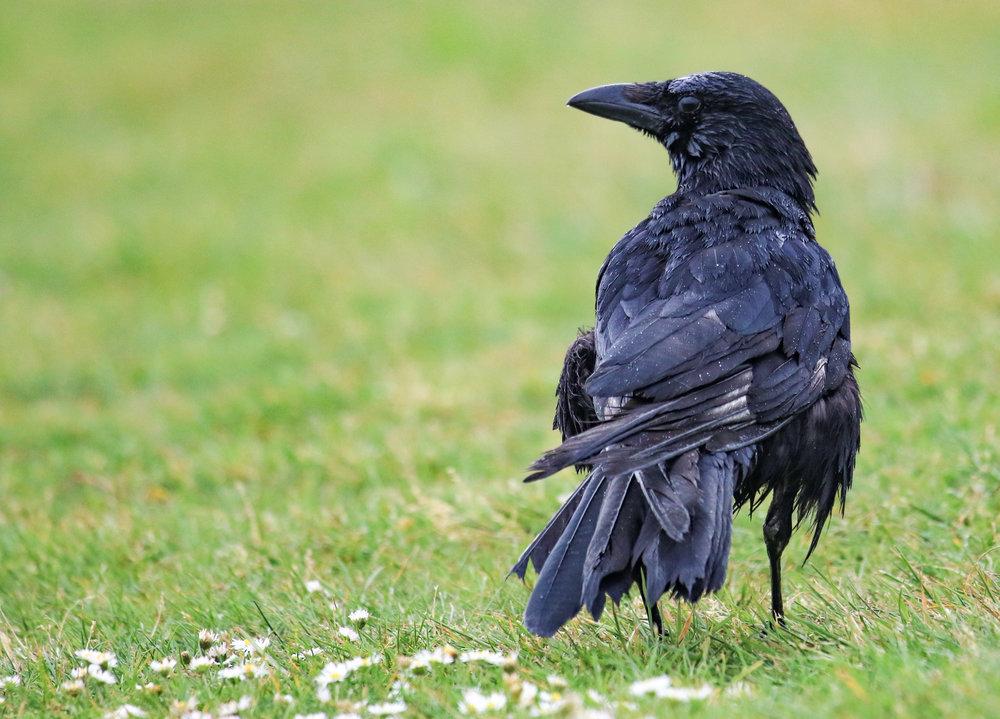 bird raven wet feathers london hyde park (1 of 1).jpg
