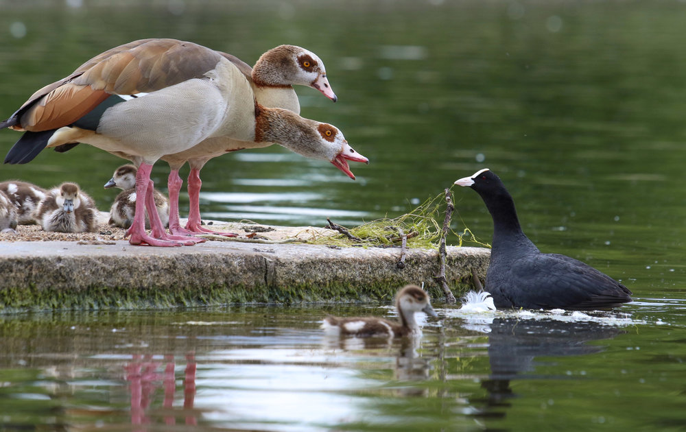 edited egyptian geese and coot (1 of 1).jpg