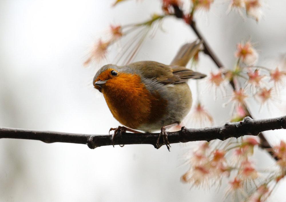 bird london european robin (1 of 1).jpg