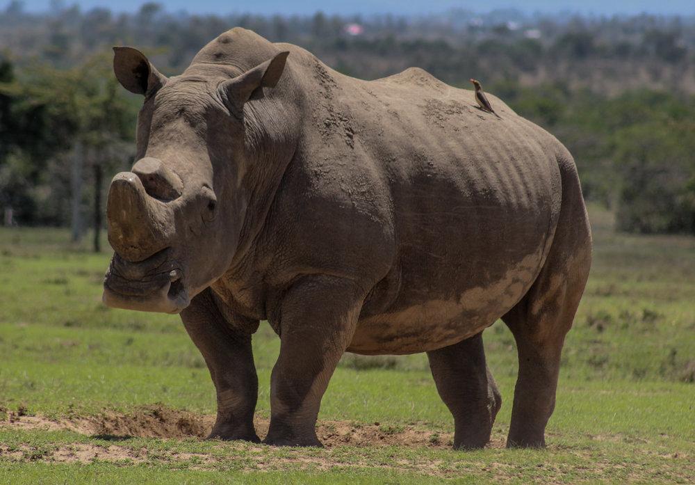 Southern white rhino ol pejeta (1 of 1).jpg