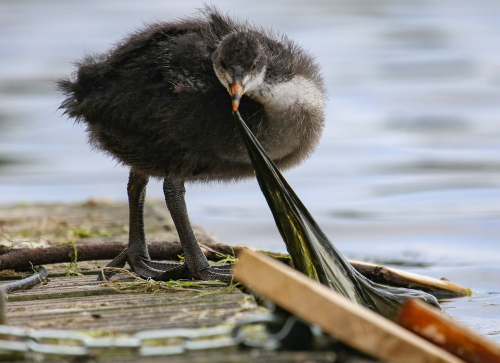 coot chick london hyde park 2 (1 of 1).jpg