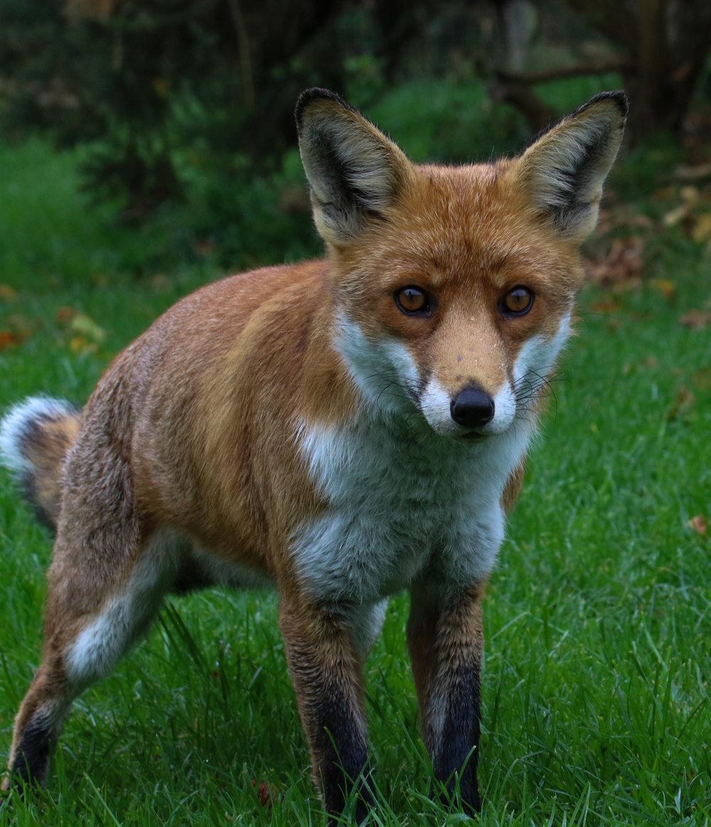 male fox british wildlife centre 6 (1 of 1).jpg