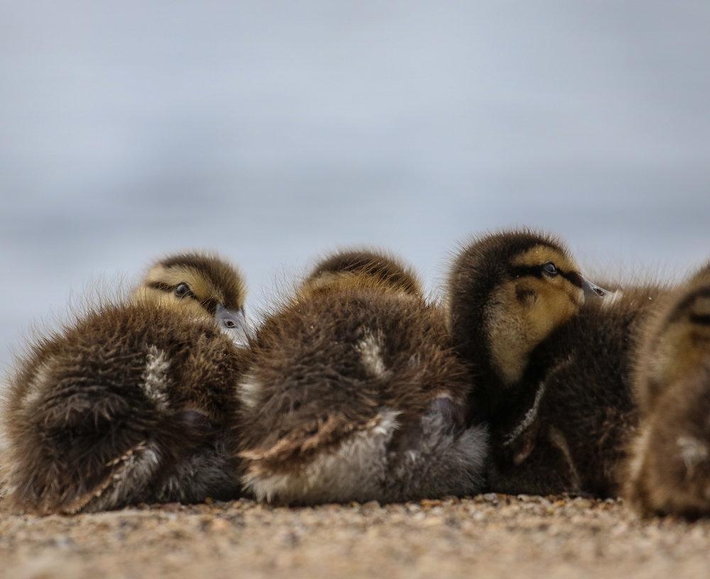 mallard ducklings london hyde park.jpg