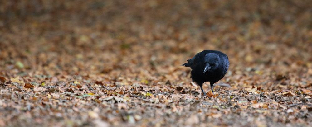 crow autumn leaves hampstead heath (1 of 1).jpg