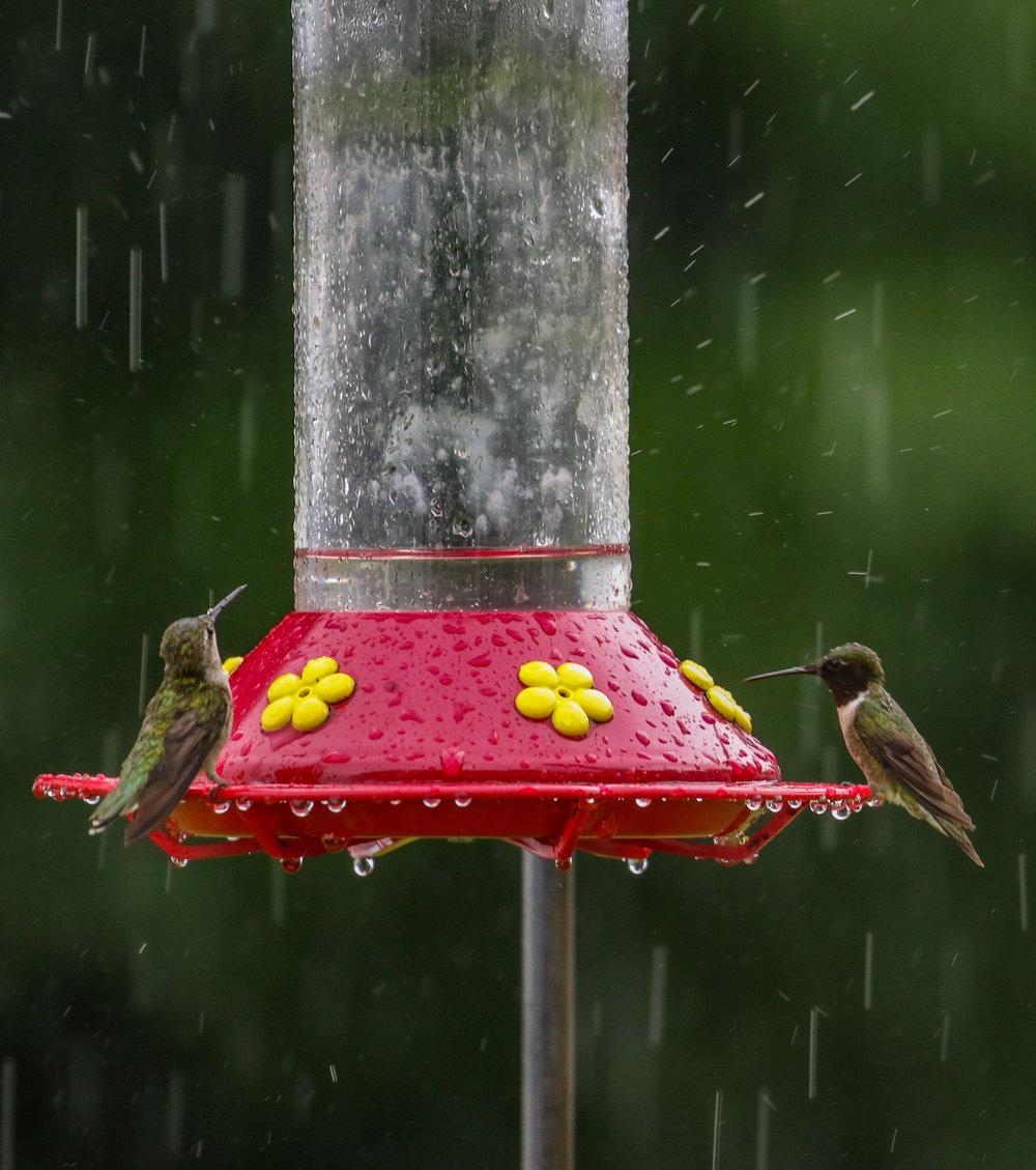 Hummingbirds at feeder rain North Carolina (1 of 1).jpg