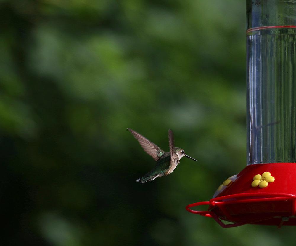 hummingbird flying towards feeder north carolina (1 of 1).jpg