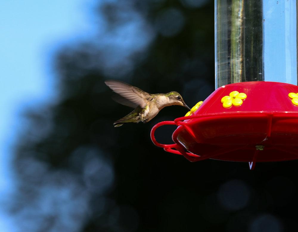 hummingbird mouth in feeder north carolina (1 of 1).jpg