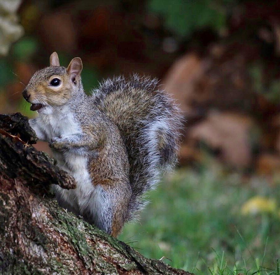 eastern gray squirrel nut london.JPG