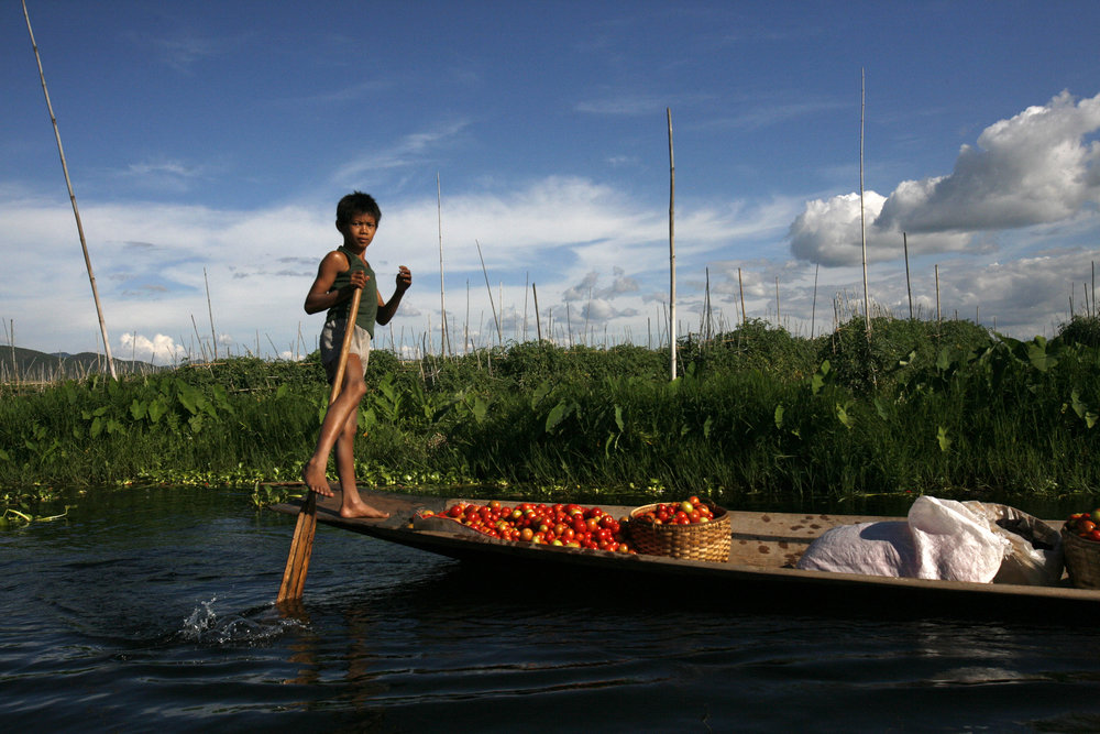 A boy rows with a fresh harvest of tomatoes from the floating gardens of Inle Lake, Myanmar.