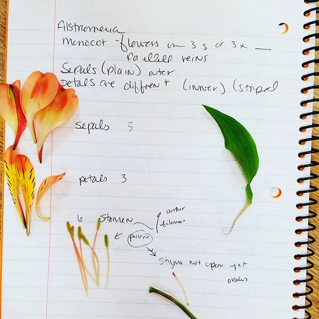 I'm such a good Hufflepuff, Professor Sprout would be so proud. Back to school 😁😁😁 Learning about botany in my 2nd master gardener class. Plant anatomy. It's MAGIC!!! . . . #plantlady #plants #science #disection #school #gardening #gardener #crazyplantlady #flower #flowers #flowersofig #notes #notebook #neverstoplearning #somethingnew #stem #petals #color #nature #naturegram #downtoearth #backtoschool #botany #botanist #study #harrypotter #herbology #hufflepuff #magic #mothernature